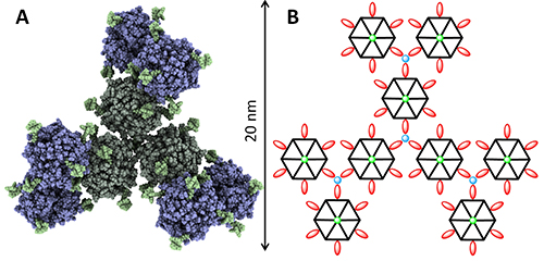 """Fig. 3D model of new self-assembly nano-insulin. Fig. B. Model of insulin molecules assembled in grid construction. Each hexamer (hexagon with six red bipyridin """"hooks"""")  connects to another hexamer at an iron (II) ion (blue) at the end of each bipyridin"""